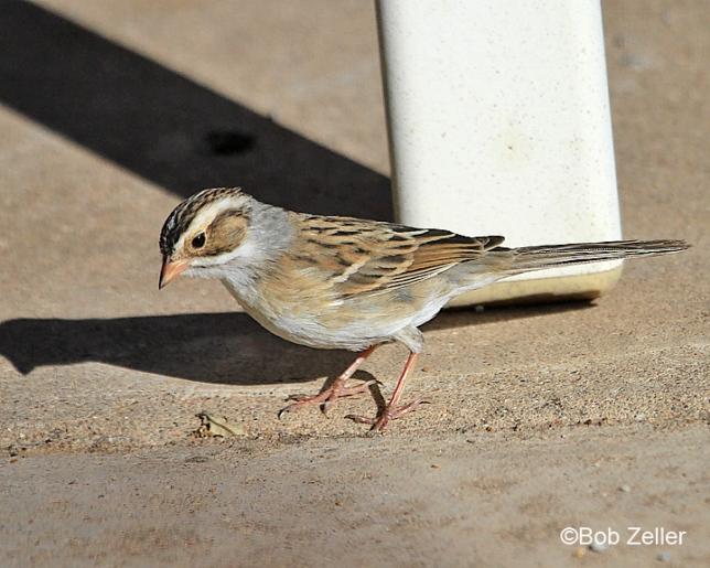 8220_web-sparrow-clay-bob-zeller