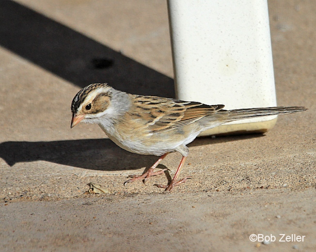 8220_web-sparrow-clay-bob-zeller