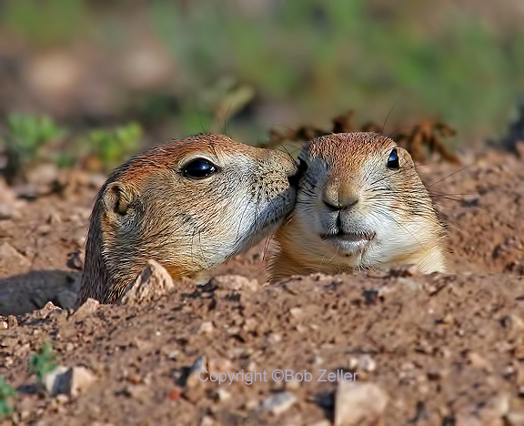 IMG_5177_net-prairie-dog-kissing-bob-zeller