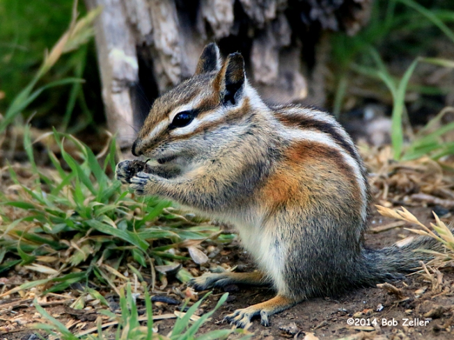 IMG_6500-net-chipmunk-gray-footed-bob-zeller