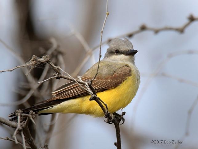 1Y7A3623-1net-kingbird-western-bob-zeller