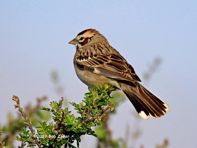 1Y7A6243-net-sparrow-lark-bob-zeller