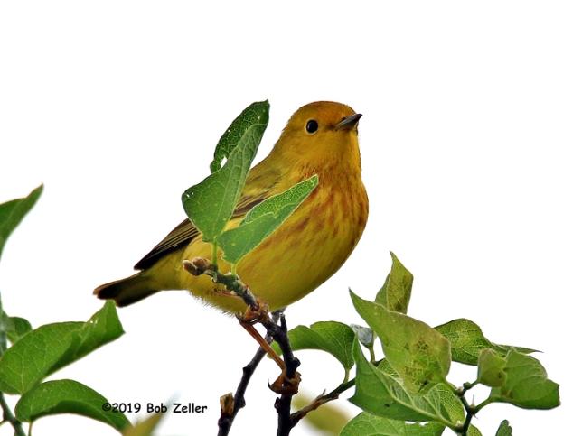 1Y7A6402-net-warbler-yellow-bob-zeller