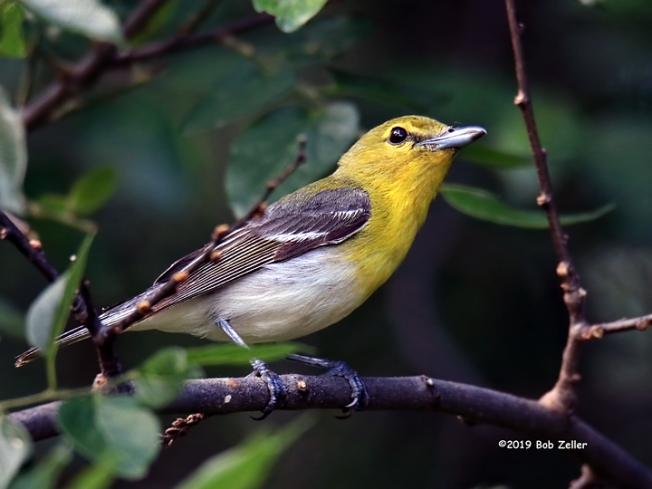 1Y7A7072-net-vireo-yellow-throated-bob-zeller