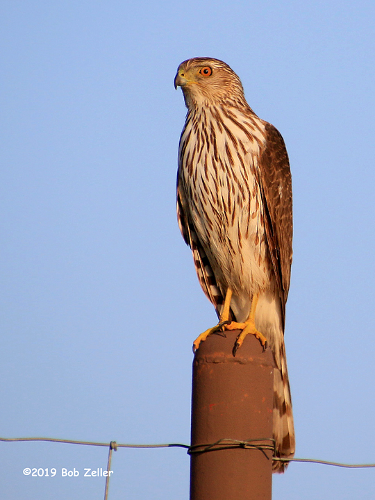 4G7A4070-net-hawk-red-tailed-bob-zeller