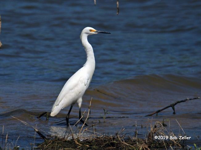 1Y7A7878-net-egret-snowy-bob-zeller