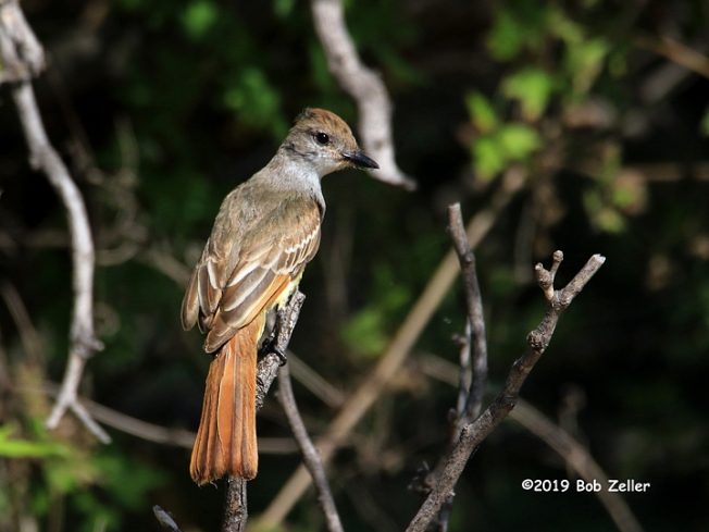 1Y7A8012-net-flycatcher-ash-throated-bob-zeller