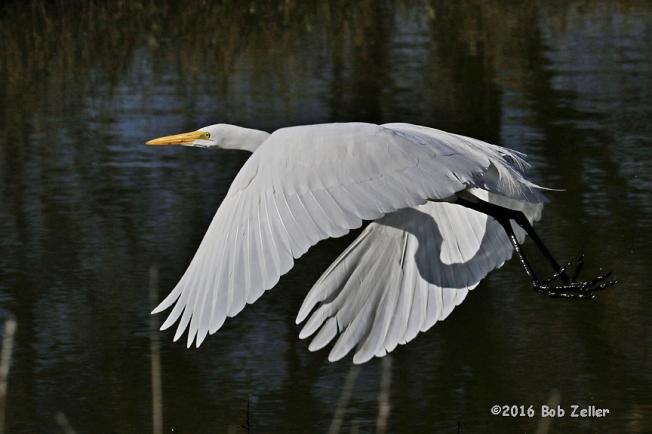4G7A7518-net-egret-great-bob--zeller