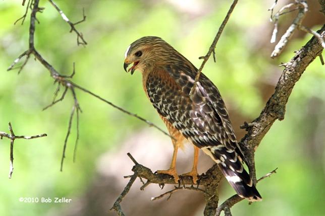 IMG_1883-net-hawk-red-shouldered-bob-zeller
