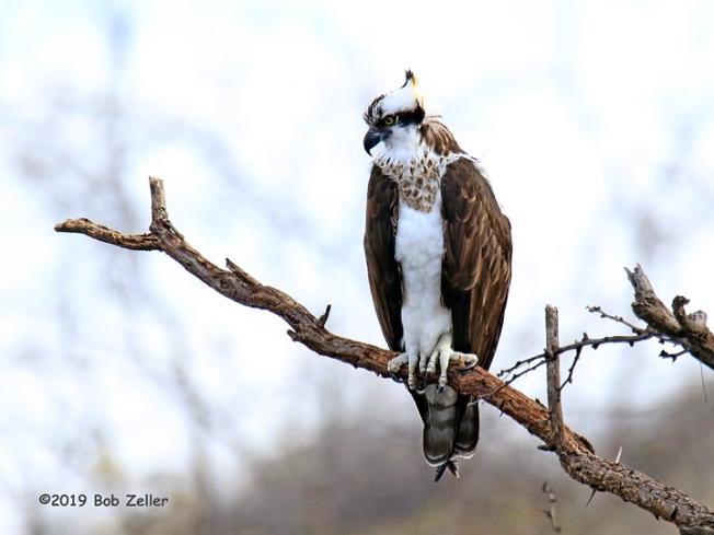 1Y7A2056-net-osprey-bob-zeller