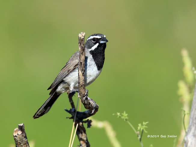 1Y7A8361-net-sparraow-black-throated-bob-zeller