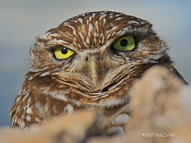 4G7A1220-net-crop-owl-burrowing-bob-zeller