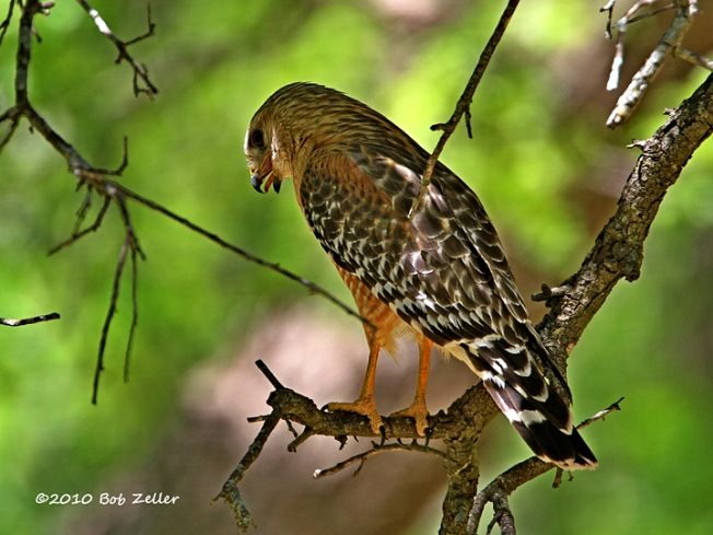 IMG_1879-net-hawk-red-shouldered-bob-zeller