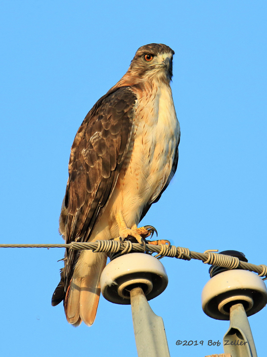 1Y7A8786-net-hawk-red-tailed-bob-zeller