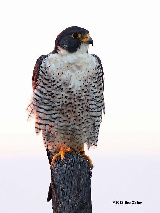 IMGB0665-net-vertical-12x16-falcon-peregrine-bob-zeller