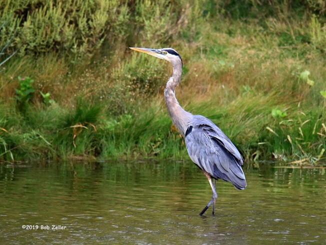 1Y7A9188-net-heron-great-blue-bob-zeller
