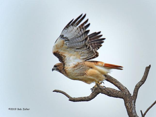 1Y7A9911-net-hawk-red-tailed-bob-zeller