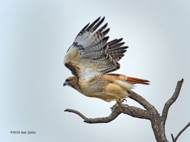 1Y7A9911-net-hawk-red-tailed-bob-zeller