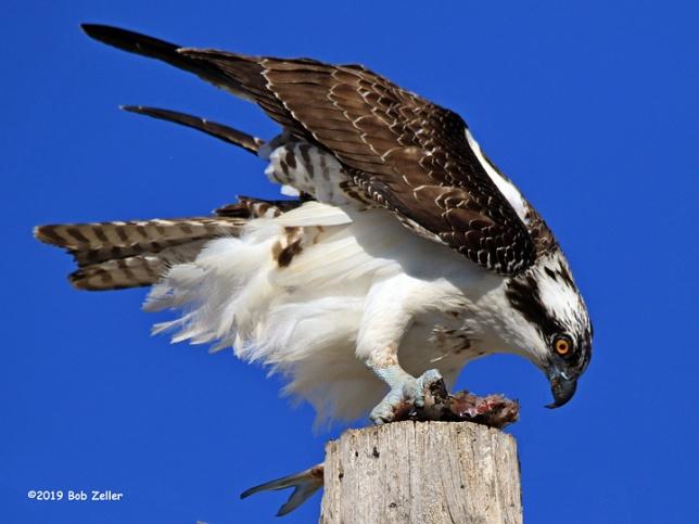 1Y7A0141-net-osprey-bob-zeller