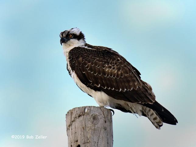 1Y7A0173-net-osprey-bob-zeller