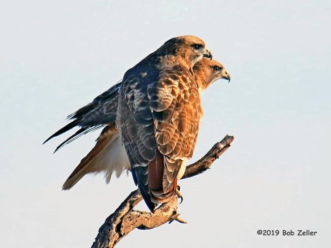 1Y7A0263-net-hawks-red-tailed-bob-zeller