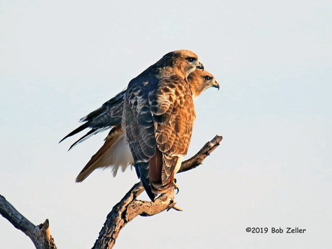 1Y7A0263-net-hawks-red-tailed-bob-zeller