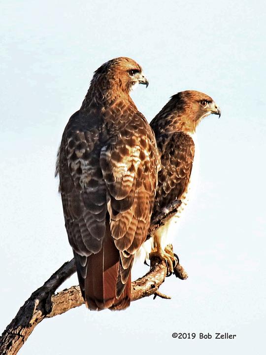 1Y7A0300-net-hawks-red-tailed-bob-zeller