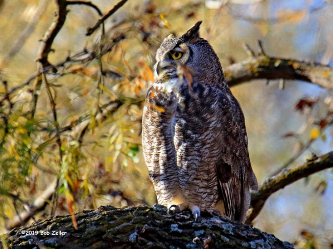 1Y7A0512-net-owl-horned-bob-zeller