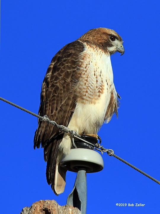 1Y7A0568-net-hawk-red-tailed-bob-zeller