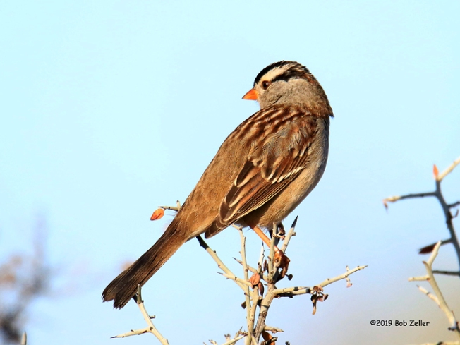 1Y7A0692-net-sparrow-white-crowned-bob-zeller