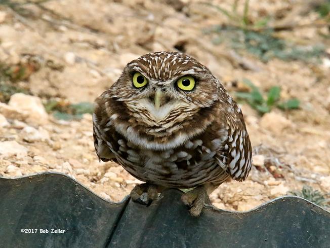 4G7A0180-net-owl-burrowing-bob-zeller