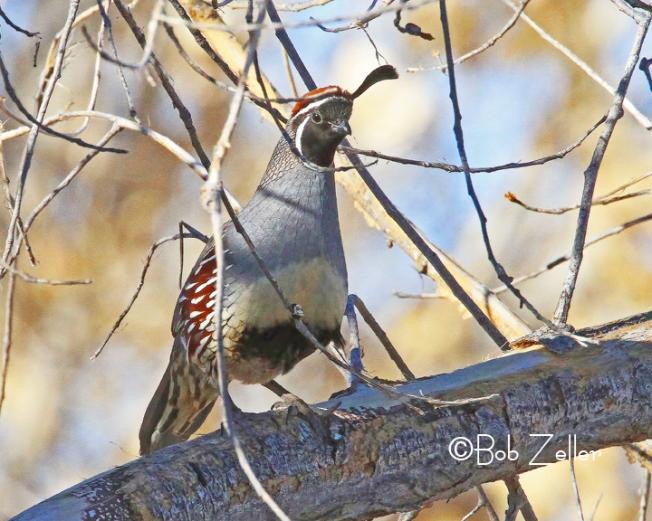 IMG_4799-net-quail-gambels-bob-zeller