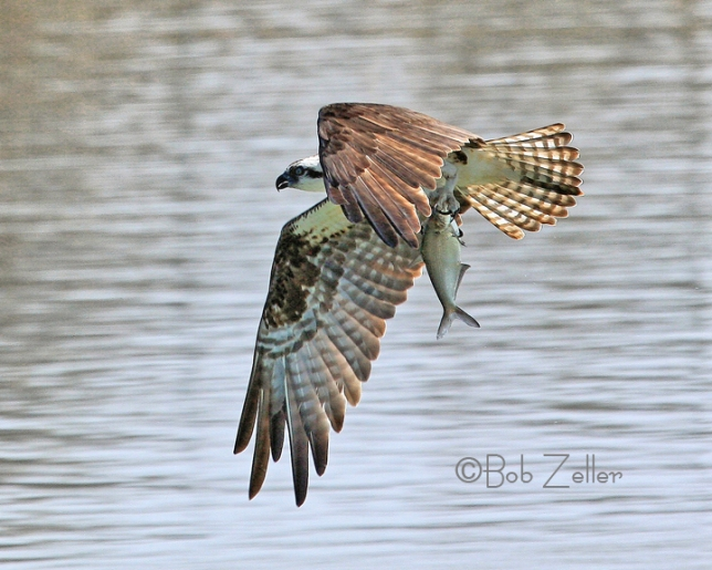 IMG_8717-net-osprey-fish-bob-zeller