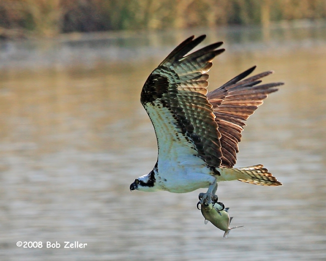 IMG_8721-net-osprey-bob-zeller