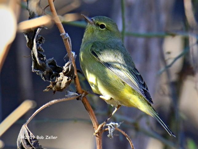 1Y7A0973-net-warbler-orange-crowned-bob-zeller