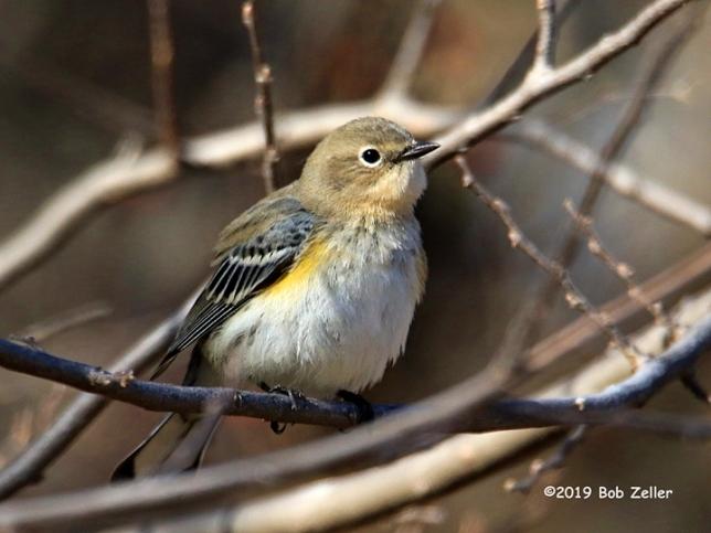 1Y7A1031-net-warbler-yellow-rumped-bob-zeller
