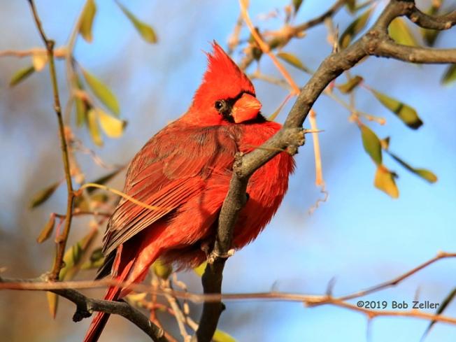 1Y7A1083-net-cardinal-bob-aeller