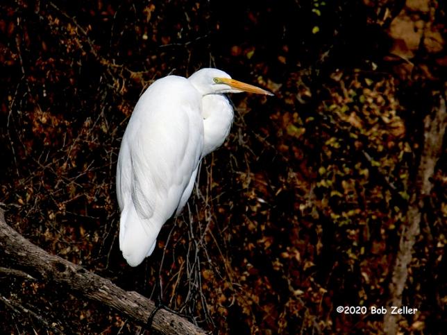 1Y7A1585-net-egret-great-bob-zeller