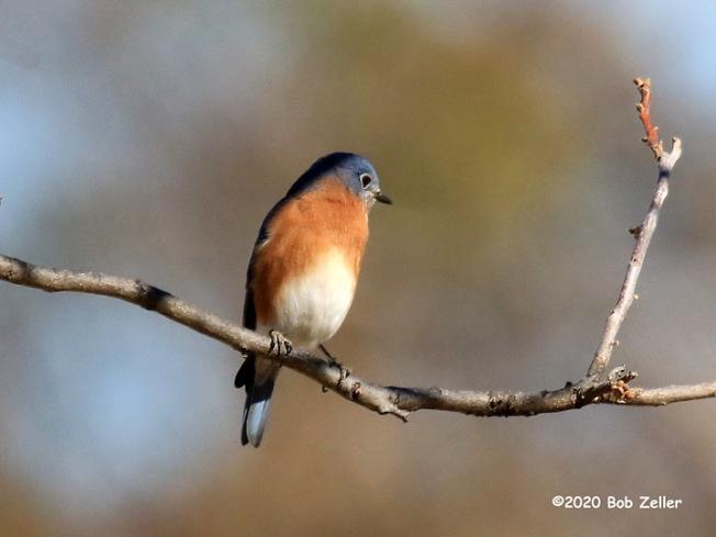 1Y7A1607-net-bluebird-eastern-bob-zeller