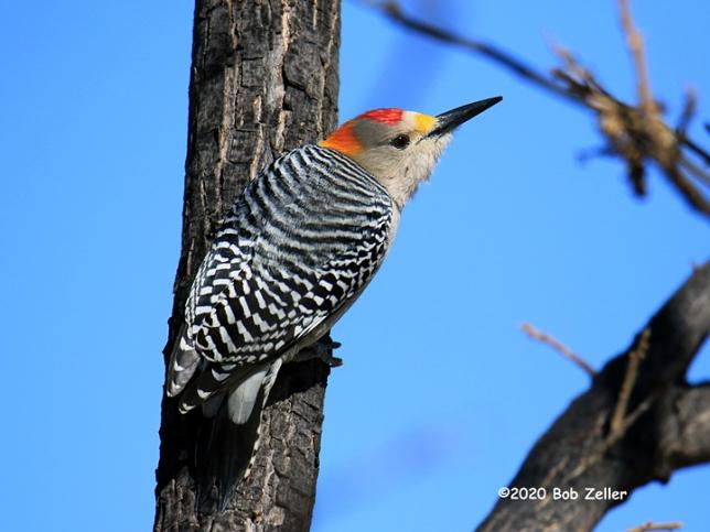 1Y7A1611-net-woodpecker-golden-fronted-bob-zeller