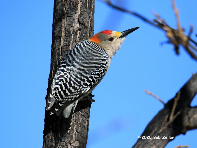 1Y7A1611-net-woodpecker-golden-fronted-bob-zeller
