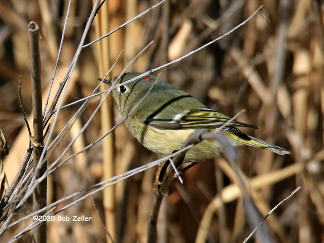 1Y7A1799-net-kinglet-ruby-crowned-bob-zeller