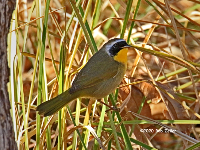 1Y7A1821-net-yellowthroat-bob-zeller