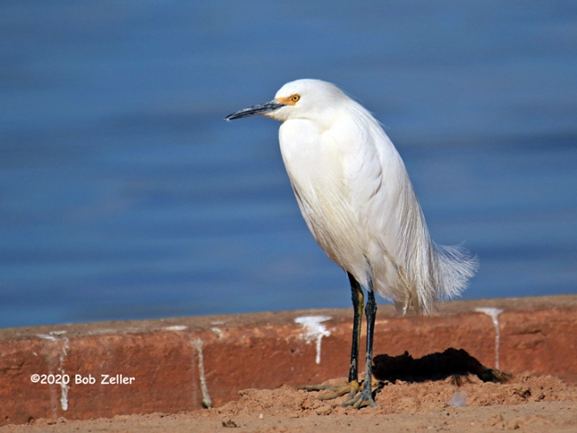 1Y7A1899-net-egret-cattle-bob-zeller