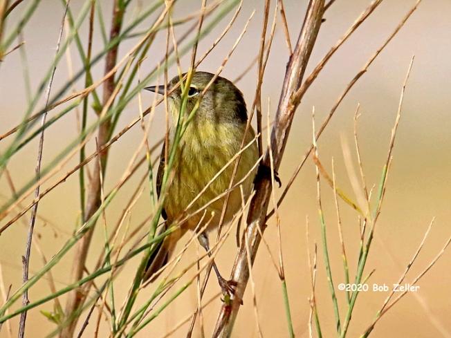 1Y7A2186-net-warbler-orange-crowned-bob-zeller
