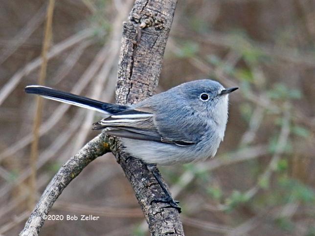 1Y7A2269-net-gnatcatcher-blue-gray-bob-zeller