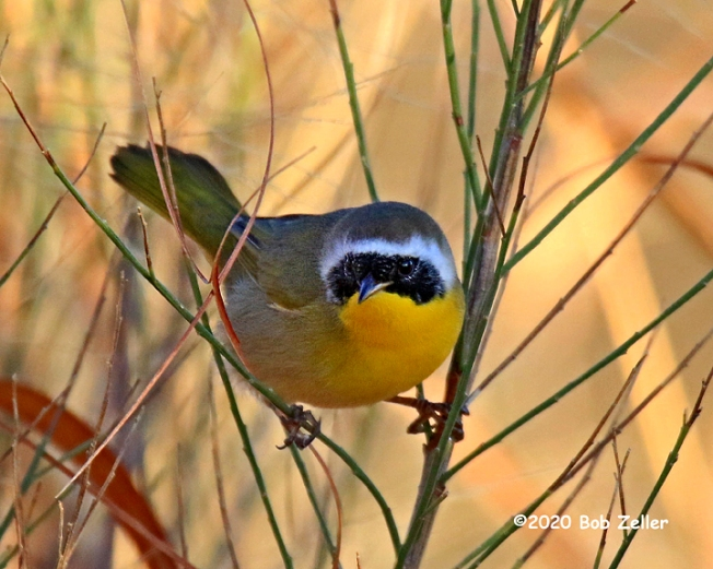 1Y7A2631-net-yellowthroat-bob-zeller
