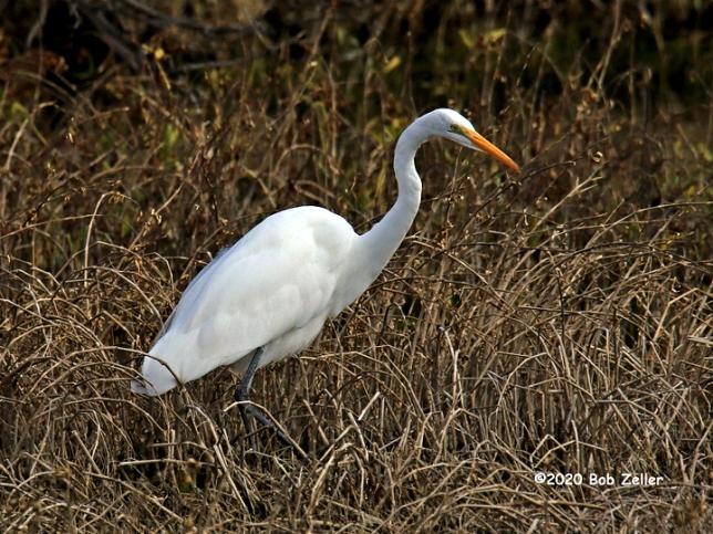 1Y7A2762-net-egret-great-bob-zeller