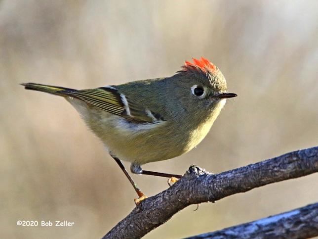 1Y7A2834-net-kinglet-ruby-crowned-bob-zeller