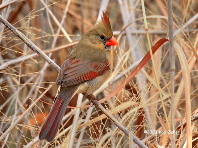 1Y7A2401-net-cardinal-female-bob-zeller